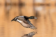 Lesser Scaup, Aythya affinis, male, Brown County, South Dakota