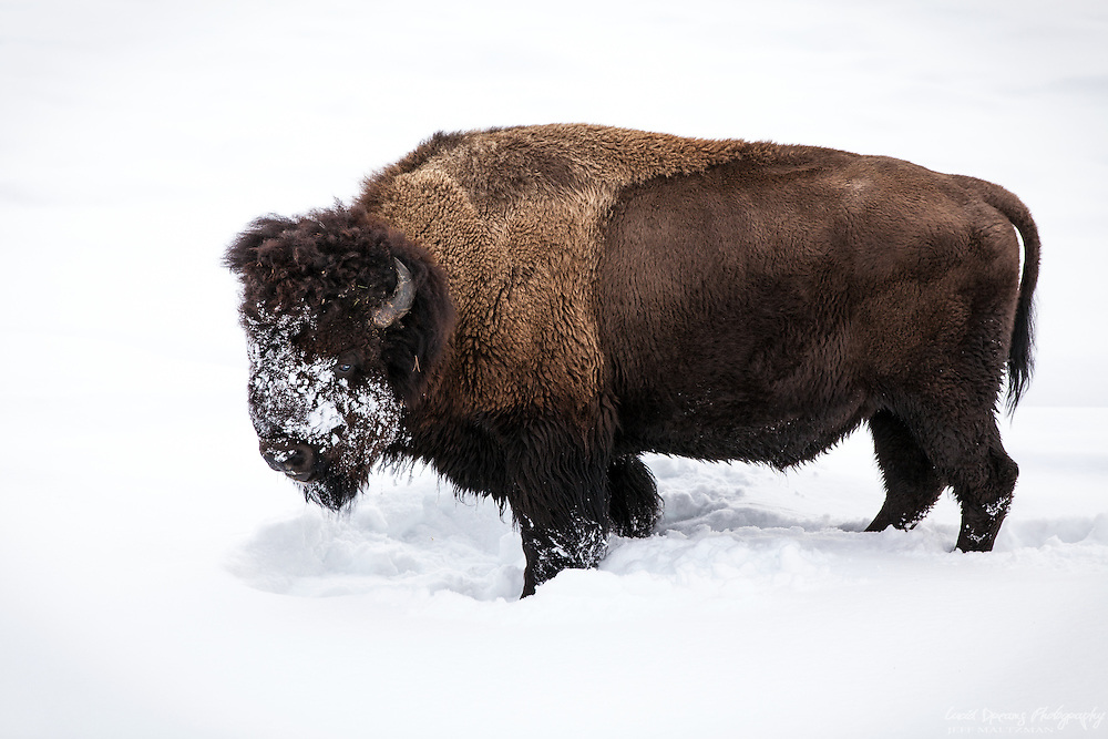 A bison searching for food buried under the snow in Yellowstone National Park