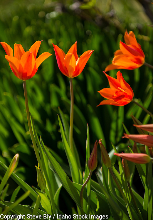 Flowers, Close-up of orange and yellow Tulips backlit with florlal background. USA