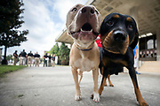 Two pet dogs wait while their owner registers them with the pet evacuation team at the Savannah Civic Center, Saturday, Sept., 9, 2017 in Savannah, Ga. Powerful Hurricane Irma is expected to impact the state on Monday morning. (AP Photo/Stephen B. Morton)