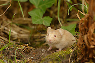 Bank Vole (Clethrionomys glareolus) adult, albino, alert in undergrowth, South Norfolk, UK. July.