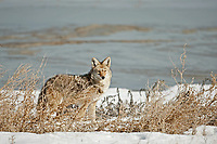 Coyote in the middle of the day quietly moves through the sagebrush.