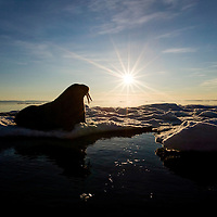 Norway, Svalbard, Edgeoya Island, Walrus (Odobenus rosmarus) on sea ice near Kapp Lee in midnight sun