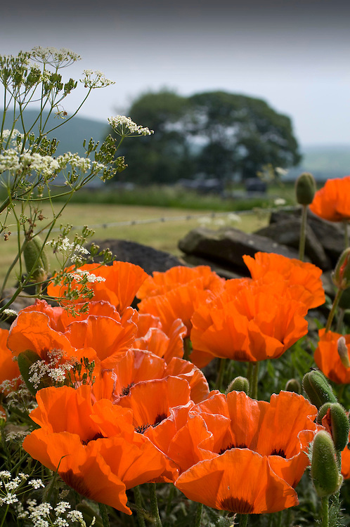 Large red poppies at the roadside in the Peak District, Derbyshire, England, UK.
