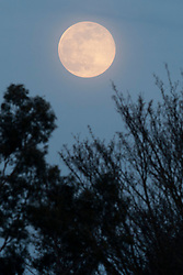 © Licensed to London News Pictures. 07/04/2020. London, UK. A pink Supermoon rises above trees in Greenwich South East London. Tonights Supermoon is thought to be the brightest full moon of 2020.  Photo credit: George Cracknell Wright/LNP