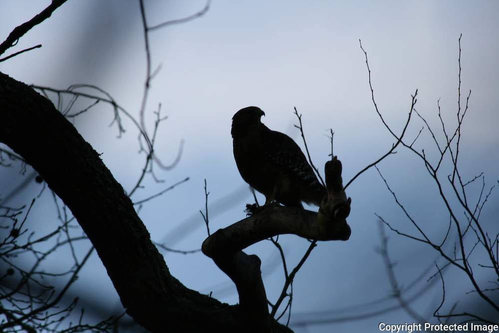 Silhouette of Coopers Hawk, feeding on a squirrel at dusk.
