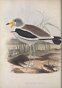 masked lapwing (Vanellus miles referenced as Sarciophorus albiceps) from Zoologia typica; or, Figures of new and rare animals and birds described in the proceedings, or exhibited in the collections of the Zoological Society of London. By Fraser, Louis. Zoological Society of London. Published London, March 1847