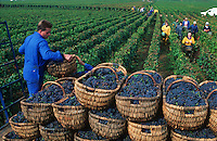 Wine harvest in Burgundy, France..Weinernte im Burgund, Frankreich..© Owen Franken