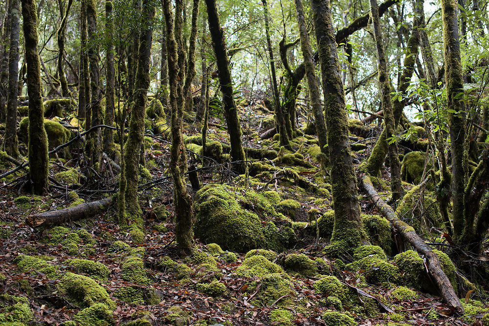 A dark and slightly eerie shot of the floor of a Tasmanian rain forest.