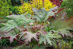 Rheum palmatum. Ornamental rhubarb