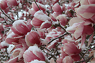 Unseasonal spring storm covers magnolia tree flowers with snow in Kirkwood, Missouri.