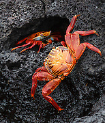 These Sally Lightfoot Crabs (Grapsus grapsus) were found while exploring the tidal zone on Santiago Island in the Galapagos, Ecuador.  The brilliant red color contrasts with the black volcanic rock.