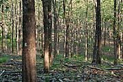 Teak forest at Paridas island. Chiriqui Gulf, Chiriqui province, Panama, Central America.