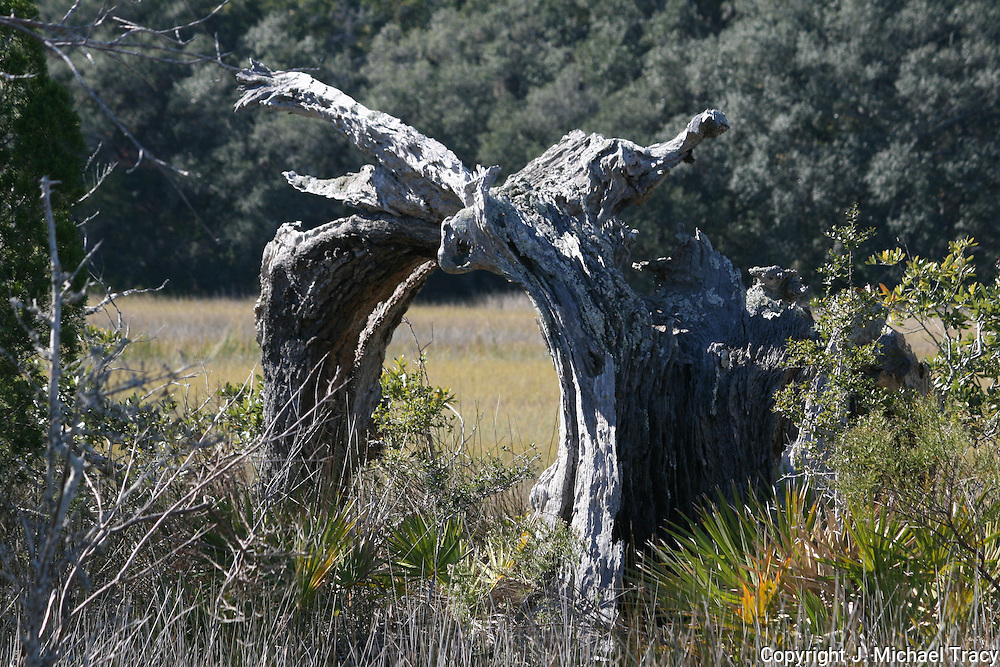 This strange arched shaped, dead tree formation was spotted in a remote section of a Jekyll Island swamp. It resembles a cathedral door with a gargoyle at the top.