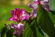 Orchid tree blossom (Bauhinia variegata).