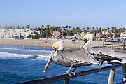 Pelicans on the Huntington Beach Pier California