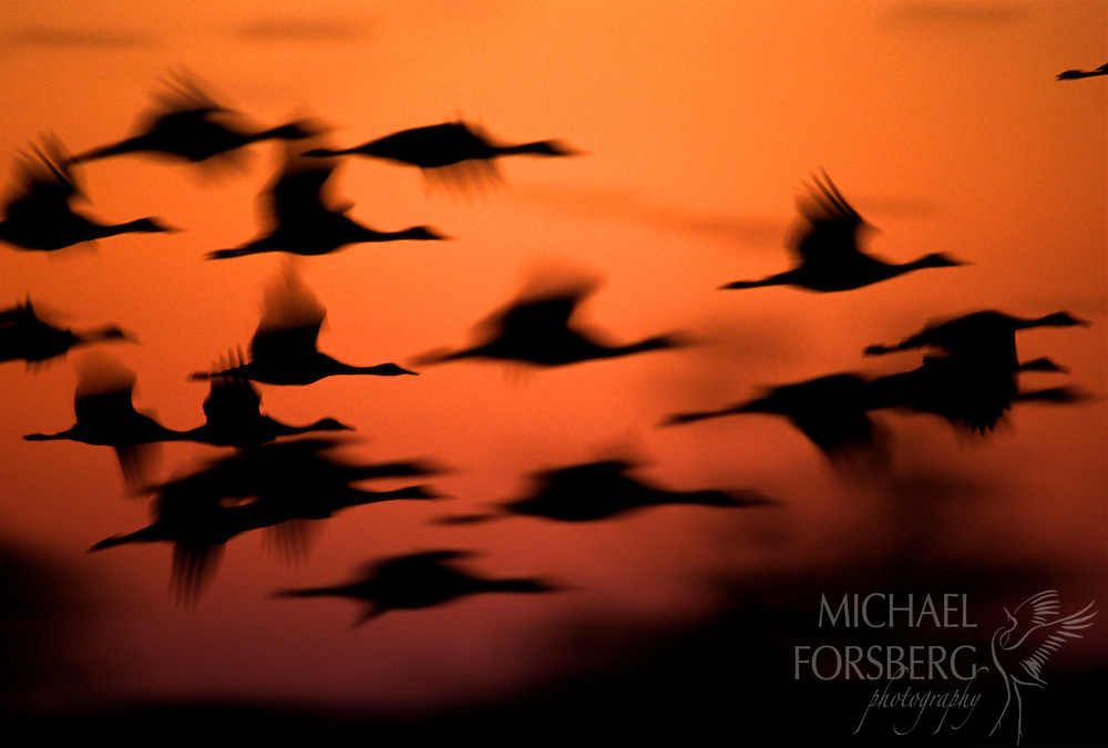 Cranes flying into roost appear as silhouettes against a orange-red sky.  Rowe Sanctuary, Nebraska.