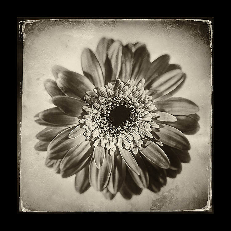 "Charles Blackburn image of Gerber Daisy in in the studio. 5x5"" print."