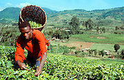 KENYA, AGRICULTURE a Kikuyu farm worker picking tea leaves  on a tea plantation near Maua in the  Kenyan highlands