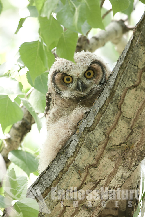 A Great Horned Owlets curiosity.