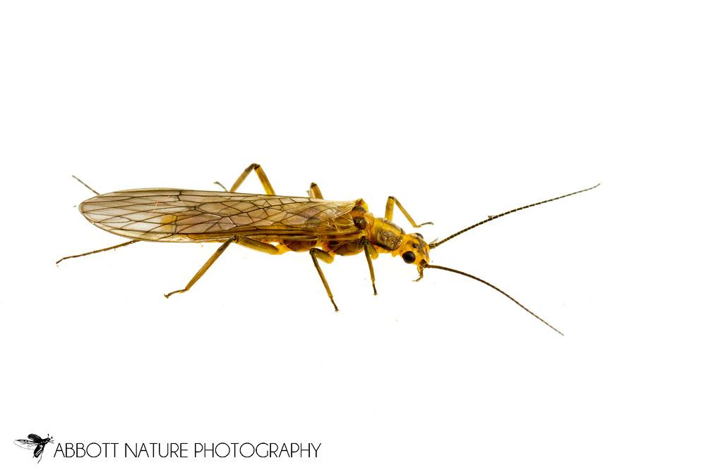 Green-winged Stonefly (Isoperla davisi) - female<br /> United States: Alabama: Tuscaloosa Co.<br /> Tulip Tree Springs off Echola Rd.; Elrod<br /> 8-Mar-2017<br /> J.C. Abbott #2900
