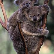 Koala, (Phasolarctos cinereus) Mother and baby. Australia.