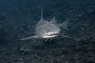 Lemon shark-Requin citron (Negaprion brevirostris), Moorea island, French Polynesia.