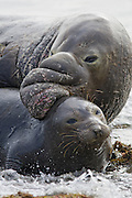 Northern Elephant Seal<br /> Mirounga angustirostris<br /> mating behavior<br /> Isla San Benito, Baja California, Mexico
