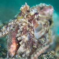 A Coconut Octopus, Amphioctopus marginatus, eating a conch shell, Anilao, Batangas, Philippines.