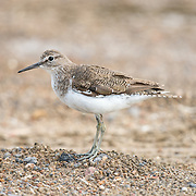 The common greenshank (Tringa nebularia) is a wader in the large family Scolopacidae, the typical waders.