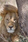 Male lion in African habitat