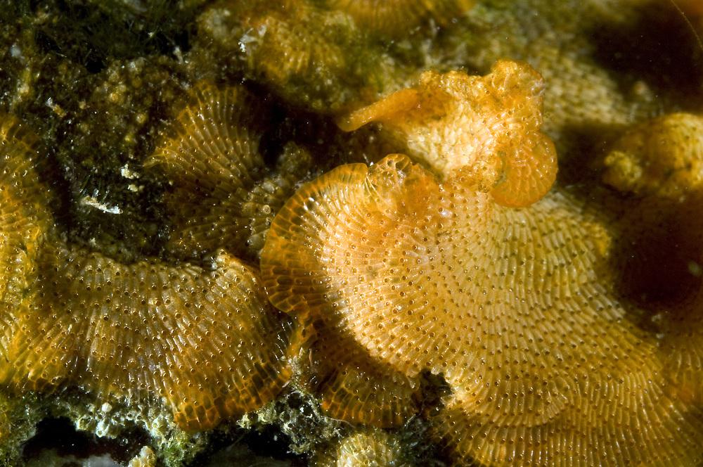 The introduced moss animal Schizoporella japonica. Location : Stavanger, Norway