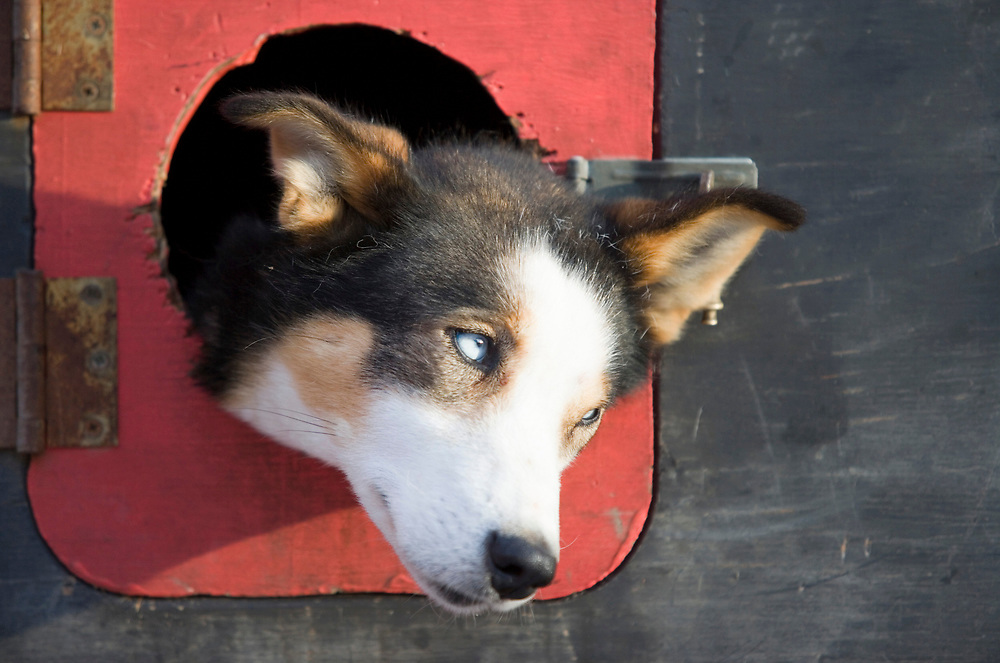 USA, Alaska, Anchorage, Morning sun lights dog peering from NWEL truck parked along 4th Avenue before start of 2005 Iditarod sled dog race