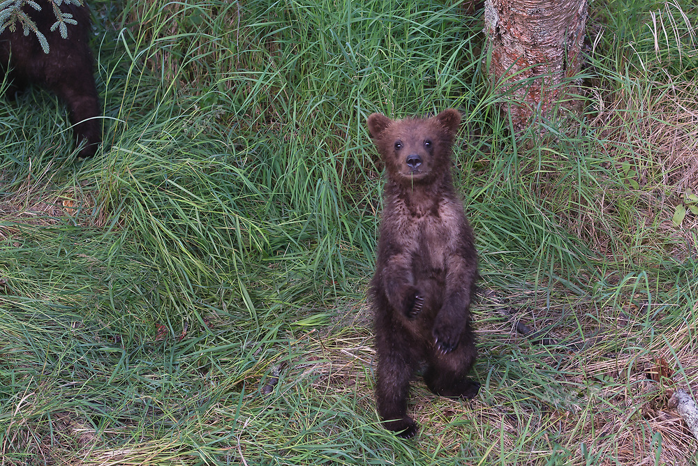 A brown bear spring cub in Katmai National Park, Alaska.