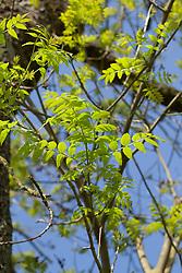 Es, Fraxinus excelsior