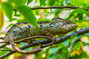 The Malagasy giant chameleon or Oustalets's chameleon (Furcifer oustaleti) is a very large species of chameleon which is endemic to Madagascar