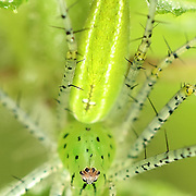 Lynx Spider (Oxyopes) in Pang Sida National Park.