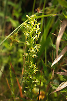Water-spider orchid in full flower on the side of the highway in the Apalachicola National Forest.
