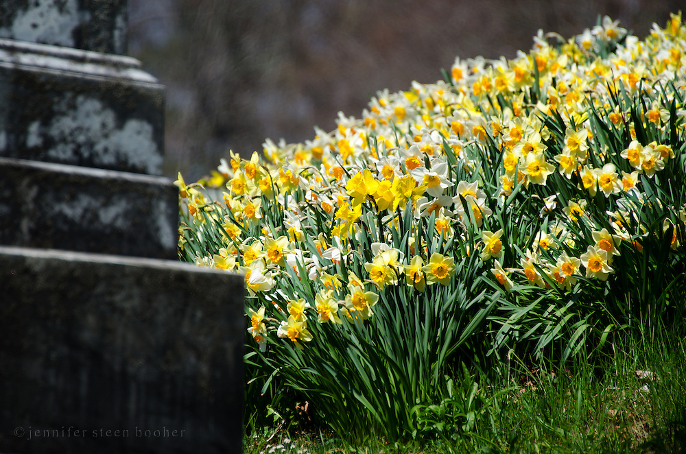 A mass of daffodils crowds around the base of a weathered gravestone in an old cemetery.