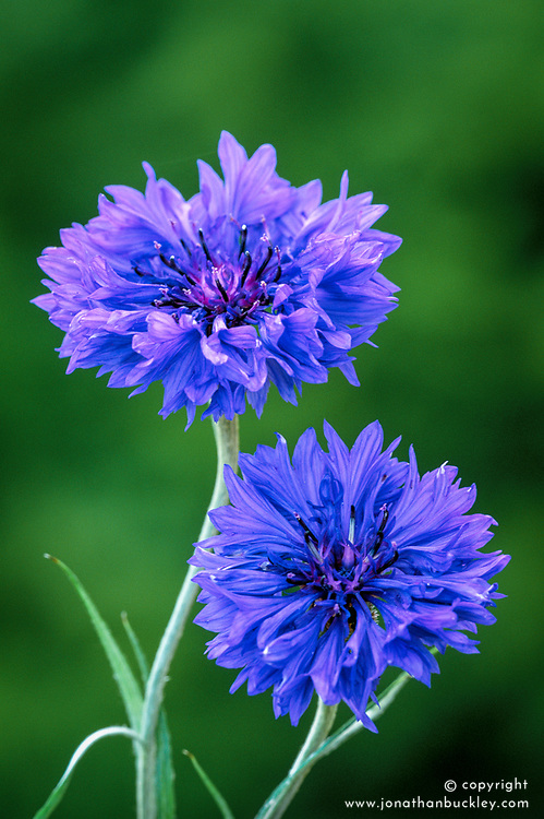 Centaurea cyanus 'Blue Boy' - cornflower