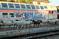 Le Ferrovie del Sud Est nascono in Puglia, nell'ottobre del 1931. A questà nuova società veniva dato in concessione l'insieme delle reti ferroviarie precedentemente gestite da diversi organismi (Società per le Ferrovie Salentine, Società per le Ferrovie Sussidiate, Ferrovie dello Stato)..Le aree pugliesi attraversate dalla società ferroviaria sono l'area barese, la fascia Taranto-Brindisi e l'area leccese-salentina, collegando fra loro i capoluoghi di Bari, Taranto e Lecce, nonché oltre 130 comuni delle province meridionali..Il reportage fotografico sulle Ferrovie Sud Est intende testimoniare l'evoluzione tecnologica che, durante gli anni, ha modificato e migliorato il servizio ferroviario e la convivenza del progresso con tracce del passato, attraverso un viaggio tra le stazioni e i depositi..Un gregge di pecore percorre la stazione di Mungivacca.