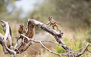 Juvenile baboons on a log, Tarangire National Park, Tanzania.