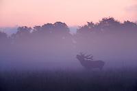 Red Deer (Cervus elaphus), stag calling during rut, Klampenborg Dyrehavn, Denmark, September 2008. Fenced reserve enclosure.