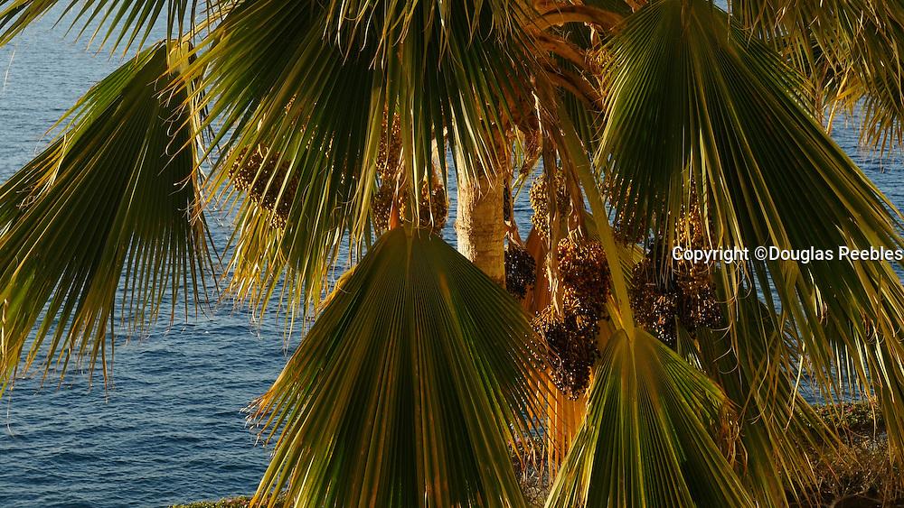 Date palm tree, Kaanapali Beach, Maui, Hawaii
