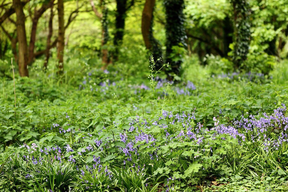 Bluebells on Barnes Common, south-west London