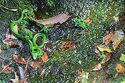 White-lipped Pit Viper (Trimeresurus albolabris). Bach Ma National Park. Vietnam.