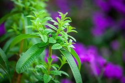 Aloysia citrodora AGM. Lemon verbena