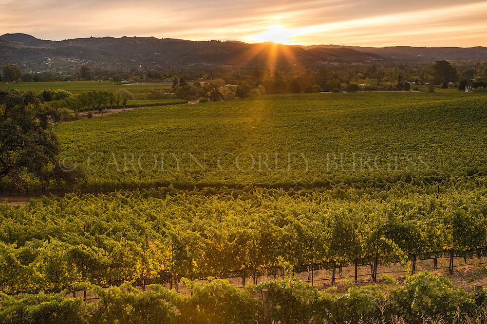 Sunrise over a Sonoma Valley vineyard