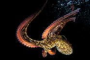 Cephalopoda (Octopus and Squid).