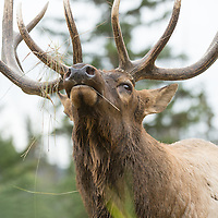 bull elk head rocked back, close up antlers